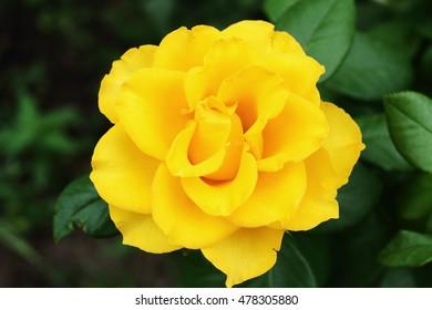 bright beautiful yellow rose. macro photo. low depth of field.