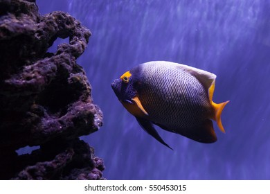 Bright beautiful yellow-faced angelfish swimming near reefs
