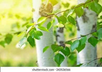 Bright birch branches in the sunlight