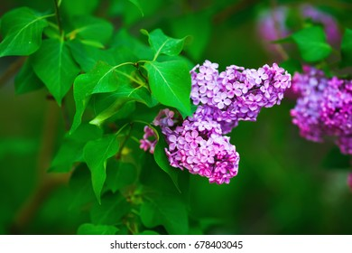 Bright blooming purple lilac flowers and green leaves in the garden. Shallow depth of field. Selective focus.