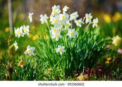 Bright blooming white daffodils . Flowering narcissus flowers. Spring daffodils. Shallow depth of field. Shallow depth of field. Selective focus.