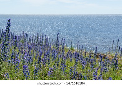 Bright blossom Blueweed flowers by a coast with water reflections at the island Oland in Sweden