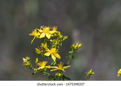 Bright blossom Saint-john's-wort close up by a blurred background