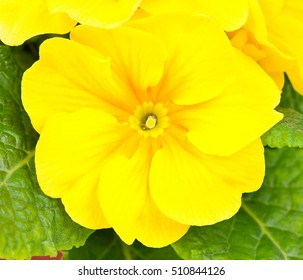 Bright blossoming yellow primrose over green leaves background