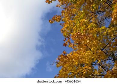 Bright blue autumn sky and orange maple tree background
