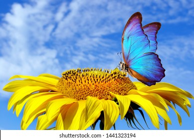 bright blue butterfly morpho sitting on a sunflower against a blue sky. butterfly on a flower
