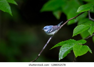 A bright blue Cerulean Warbler perched on a branch surrounded by bright green leaves soaked with rain drops.