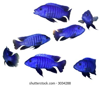 Bright blue fish swimming up spiral isolated