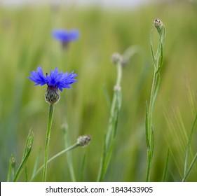 Bright blue flower of Cornflower or Bachelor's Button (Centaurea cyanus), weed in green cornfield of Barley (Hordeum vulgare). Endangered species, growing on biological farm, sown in field margins.
