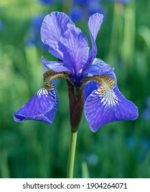Bright blue iris flower on a blurred green background