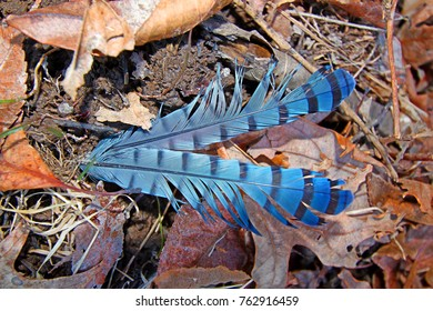 Bright Blue Jay feathers fallen on the forest floor in Illinois