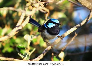 A bright blue male Splendid Fairywren (Malurus splendens), Splendid Wren or Blue Wren, a passerine bird  perched on a branch on a summer evening on Phillip Island, Southern Australia, Victoria.