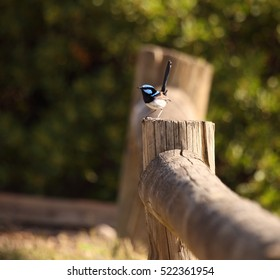 A bright blue male Superb Fairy-wren perched on a wooden fence.