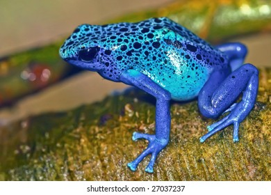 Bright blue poisonous frog