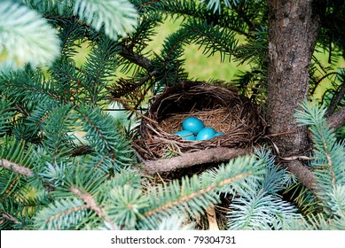 Bright blue robins eggs in a nest on a pine tree