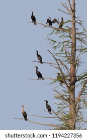 With a bright blue sky as a background, a rookery of cormorants perch on a barren tree. The dying tree is a safe haven for the birds to dry their wings.