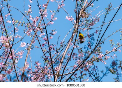 A bright blue sky in the middle of the Wild Himalayan Cherry tree branches is the little yellow bird.