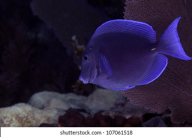 A bright blue tang swimming on an Atlantic ocean coral barrier reef in Key Largo, Florida inside the John Pennekamp state park.