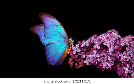 bright blue tropical morpho butterfly on lilac flowers in water drops isolated on black. copy space. butterfly on a flower. greeting card