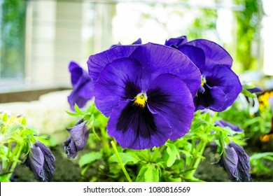Bright blue viola bicolor flowers close up with buds. Flower bed of pansies.