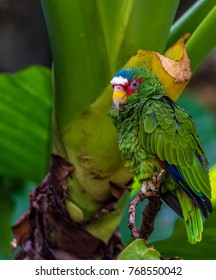 Bright Blue, White, and Green Plumage on a Green Amazonian Parrot Against a Rain Forest Foliage Background