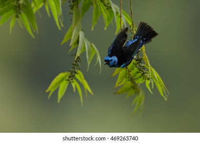 Bright blue and yellow tropical bird Turquoise Tanager, Tangara mexicana vieilloti hanging on twig against abstract forest background. Caribbean wild tanager, Trinidad and Tobago.