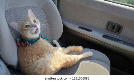 a bright cat wearing fabric collar sitting on the seat inside a car when travel with owner.A cat sit like human.