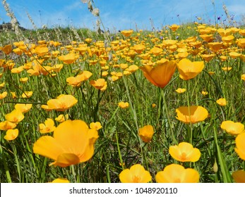 Bright and cheery field of orange California poppies.  Bidwell Park, Chico, California.
