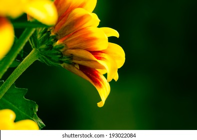 bright chrysanthemum flower detail image