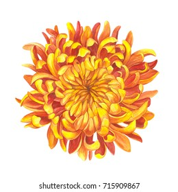 Bright chrysanthemum. Watercolor illustration. Botanical watercolor.  Can be used as background for web pages, wedding invitations, greeting cards, textile design, wallpapers, patterns