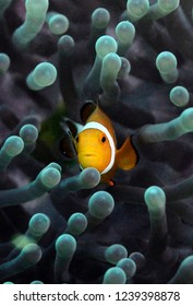 Bright clown fish in anemone