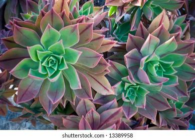 Bright Colored Cactus