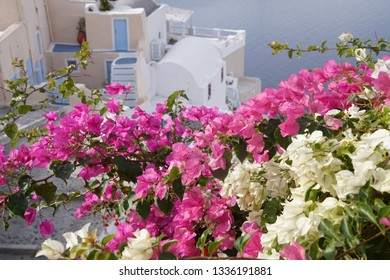 Bright colored flowers spill over the walls of Oia on the island of Santorini, Greece