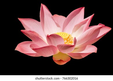 Bright colored lotus on black background, backdrop concept is wallpaper
