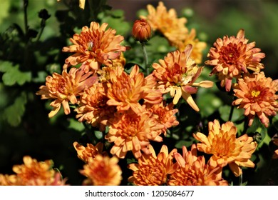 bright colored mum flowers in bloom