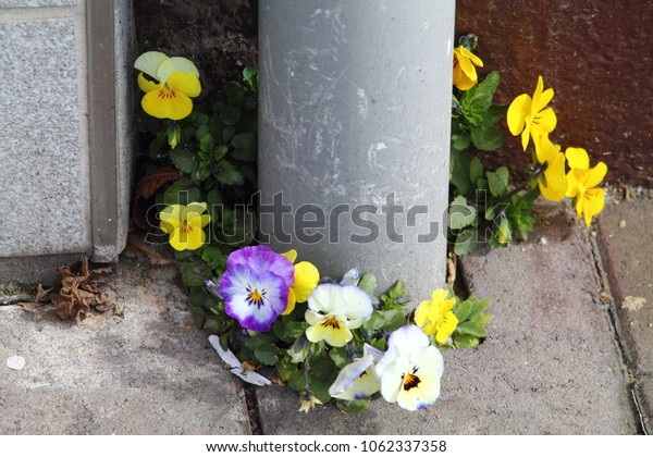 Bright colored pansies growing through concrete floor around grey pipe on the street. Urban image with selected focus.