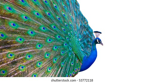 Peacock Bird Colors Images, Stock Photos & Vectors