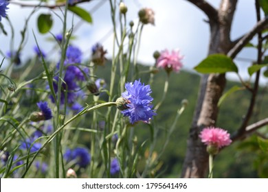 Bright colored red and blue cornflowers, knapweed, Centaurea flowers in a sunny day.
