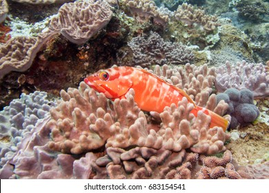 A bright colored Red-barred Rock Cod laying in a coral on the reef