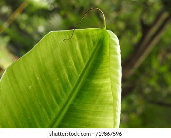 Bright colorful Banana leaf, Green color leaves, botanically a berry plant