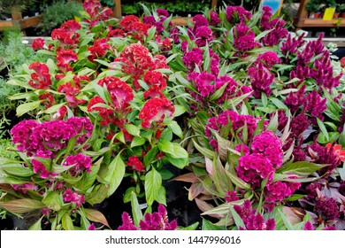 Bright colorful flowers of Celosia cristata, in red and purple. Close-up