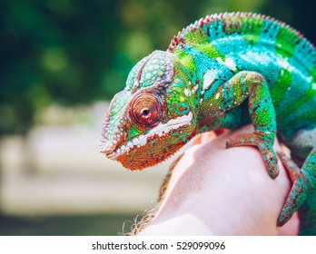 Bright and colorful panther chameleon sitting on a palm