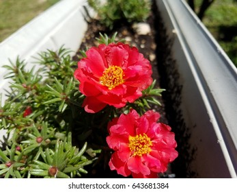 Bright and colorful Portulaca flowers.