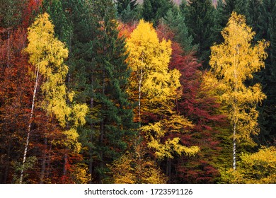 Bright colorful red and yellow trees in an autumn forest conceptual of the fall season in a scenic close up landscape