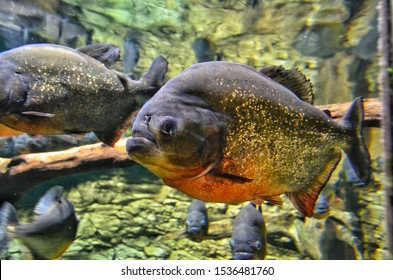 Bright colorful and scary Piranhas swimming underwater