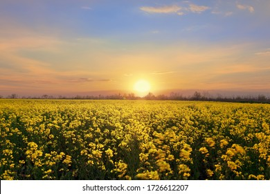 bright colorful sunset field canola / bright colors spring landscape