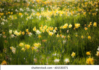 Bright colorful yellow daffodils field in spring. Lent Lily. Narcissus. Jonquils. Symbolizing rebirth and new beginnings, the daffodil is virtually synonymous with spring.