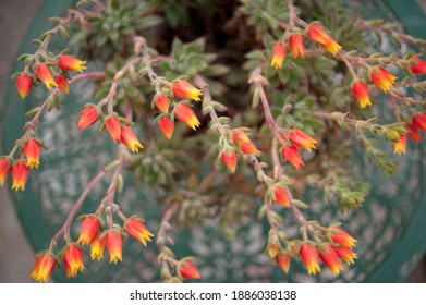Bright colorfull succulent flowers shot with a narrow depth of field