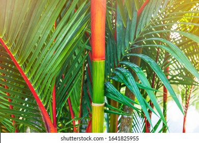 Bright and colourful crownshafts and leaf sheaths of Cyrtostachys renda in a tropical garden in summer. Focus on crownshafts.
