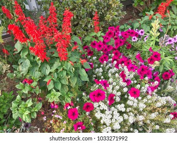 Bright colourful flower garden with Salvias, Petunias and Alyssums